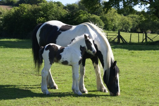 mare-and-foal-1605400_1920