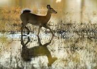 white-tailed-doe-599829_1920